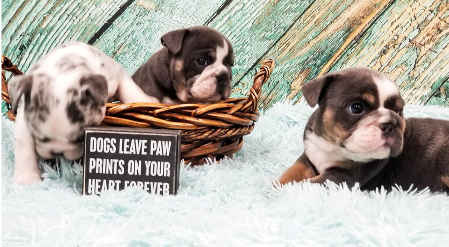 chance, mcneil, dog, breeder, puppies, chance-mcneil, dog-breeder, harrisburg, sd, south-dakota, puppy, dog, kennels, mill, puppymill, usda, 5-star, certificate, frenchies, bulldogs, ACA, registered