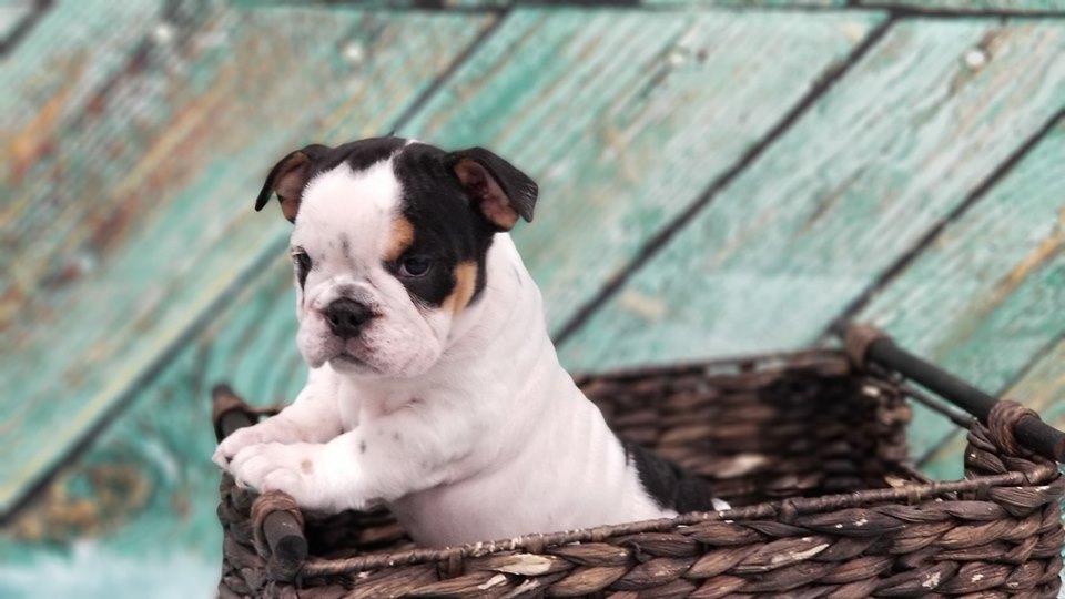 chance, mcneil, dog, breeder, puppy5, chance-mcneil, dog-breeder, harrisburg, sd, south-dakota, puppy, dog, kennels, mill, puppymill, usda, 5-star, certificate, frenchies, bulldogs, ACA, registered